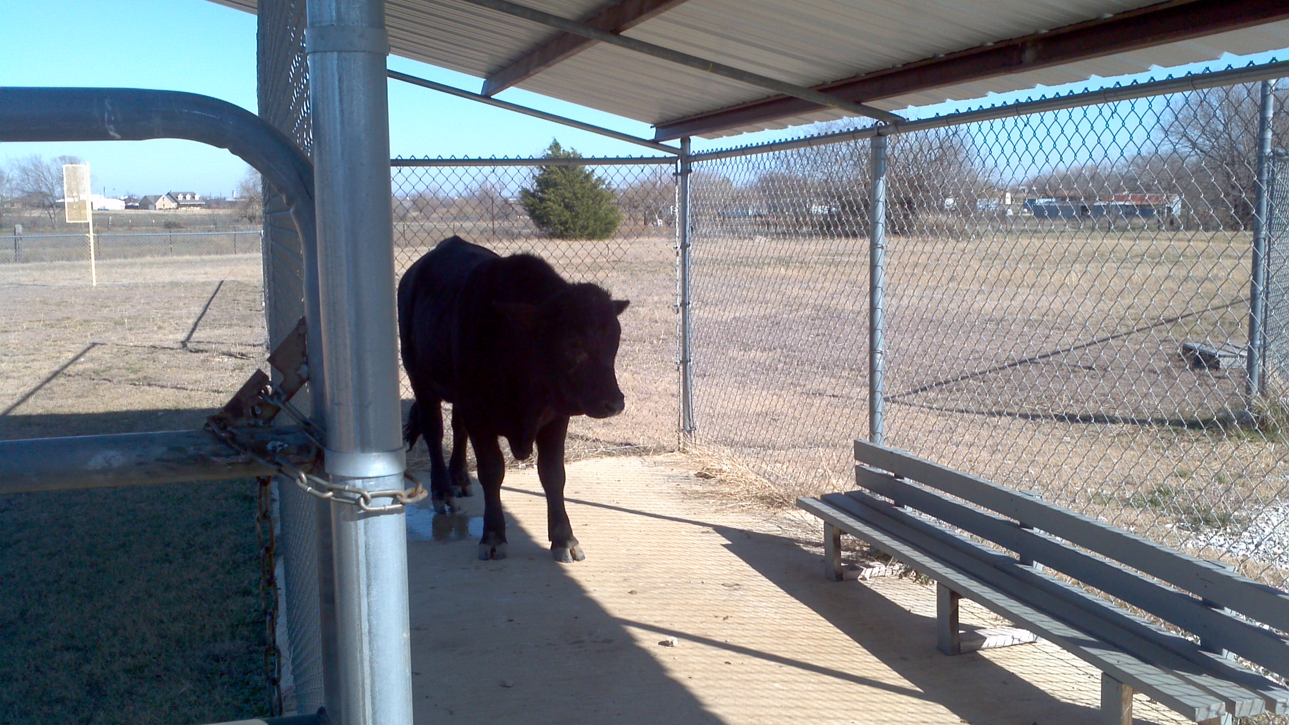 1-3-12 Bull in dugout-Nance field
